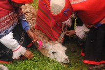 Locals in Qenqo pierce the ears of a llama during a fertility ceremony. Photographer: Kiara
