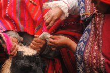 A detail from a llama fertility ceremony in Qenqo, Perú. Photographer: Kiara